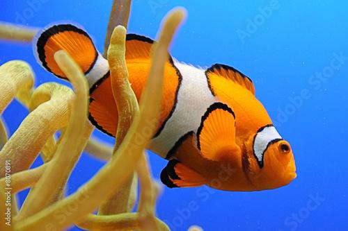 Fotografie, Obraz  Nemo