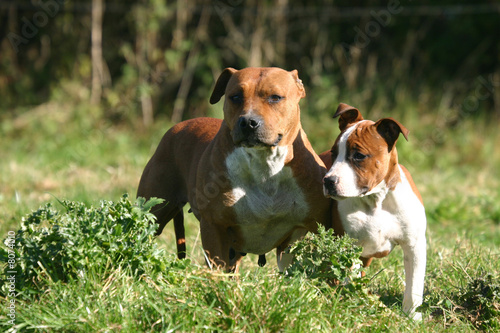 Chien Et Chiot American Staffordshire Terrier Buy This