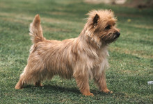 Chien  Cairn Terrier D'ecosse