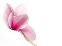 Beautiful Soft Pink Cyclamen I...