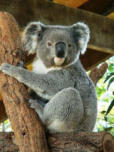 Foto op Aluminium Koala Australian Koala