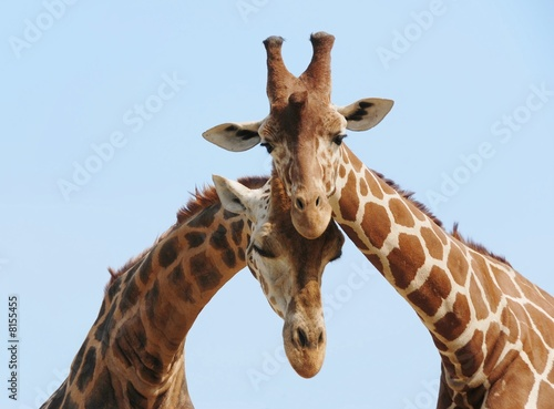 Spoed Foto op Canvas Giraffe Giraffe couple in love