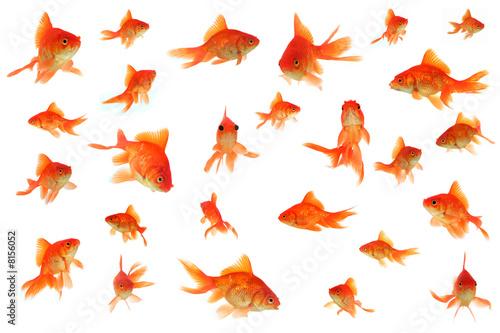Fantail goldfish collage Fototapeta