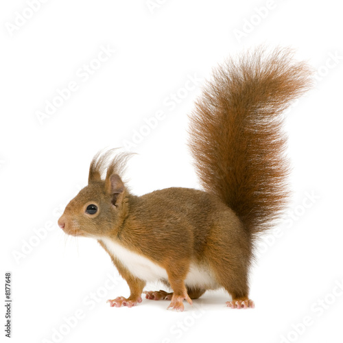 Staande foto Eekhoorn Eurasian red squirrel - Sciurus vulgaris (2 years)