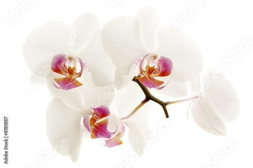 Poster Orchid Orchidée