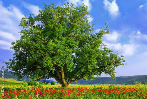 Foto-Schiebegardine ohne Schienensystem - Poppy's field, blue sky and big green tree 2 (von ValentinValkov)