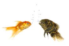 Goldfish And Tiger Oscar Fish