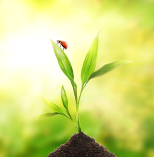 Ladybug Sitting On A Young Plant