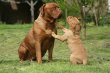 Chien > Dogue De Bordeaux