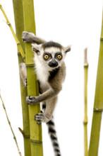 Ring-tailed Lemur (6 Weeks) - ...