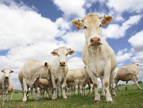Poster de jardin Vache Vaches curieuses et parfois timides
