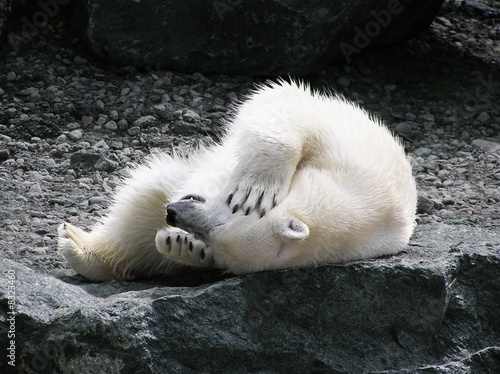 Polar bear having fun Canvas Print