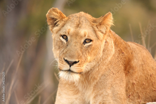 Fotobehang Leeuw Lioness in Sabi Sands