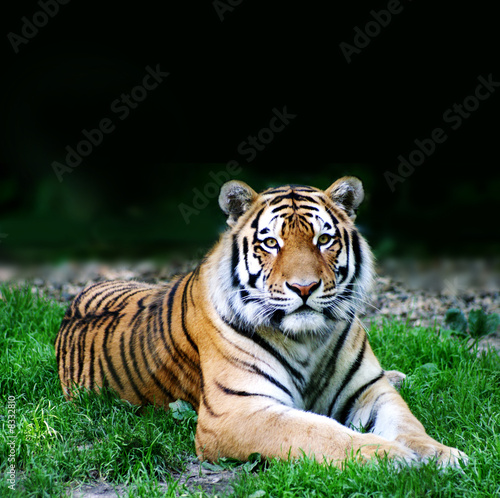 Papiers peints Tigre wildes Tier ( Tiger )