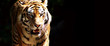 Tiger bei der Jagd