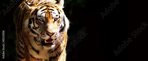 Foto auf Leinwand Tiger Tiger bei der Jagd