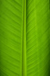 canvas print picture Banana Leaf Closeup