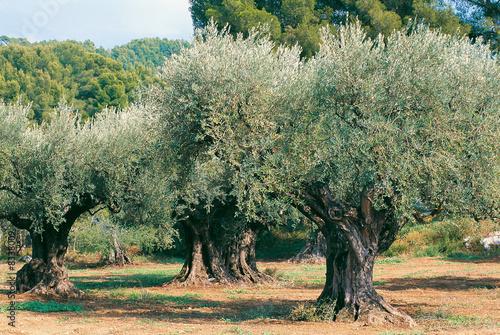 In de dag Olijfboom oliviers