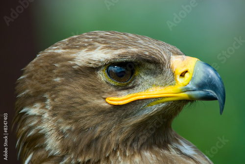 Poster Aigle steppe eagle