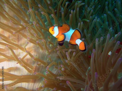 Poster Sous-marin Clownfish-anemone