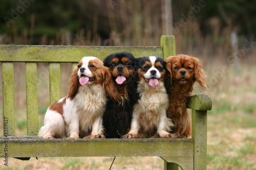 Photo quatre sur un banc Cavalier King Charles