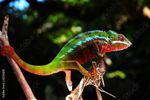 Recess Fitting Chameleon Furzifer Pardalis