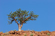 canvas print picture Corkwood tree (Commiphora spp.), Namibia, southern Africa