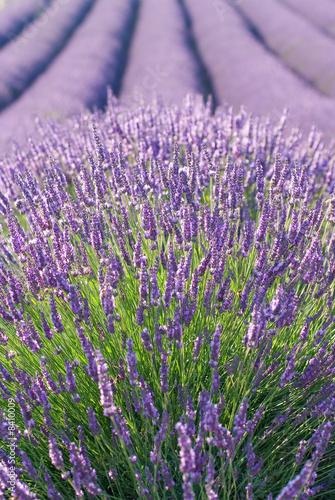 Tuinposter Lavendel champ de lavandes en fleurs