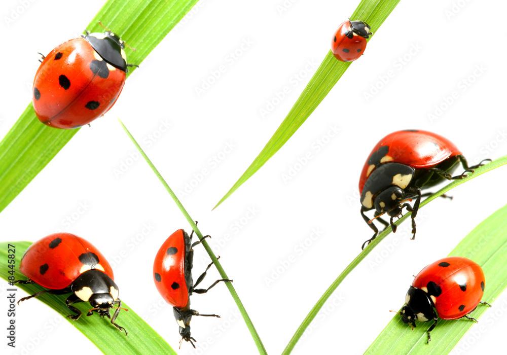 Foto-Flächenvorhang ohne Schienensystem - ladybug family