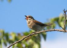 Singing Red-backed Shrike (female)