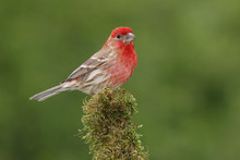 House Finch Male On Moss Cover...