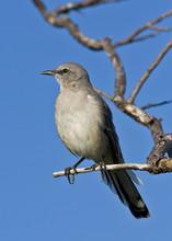 A Perched Mockingbird