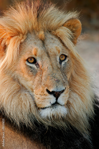Big male African lion, Kalahari desert, South Africa