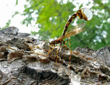 Ichneumon Fly 1