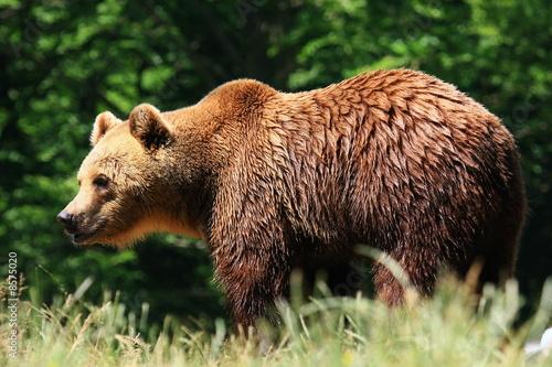 Photo braunbär