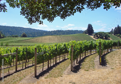 Photo Attractive Vineyard in Northern California