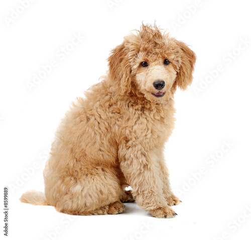 Apricot Poodle Puppy In Front Of A White Background Buy This Stock