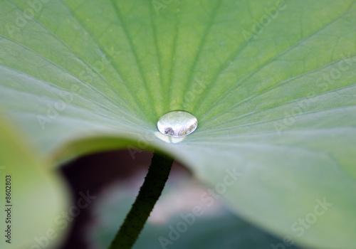Foto op Canvas Lotusbloem Wassertropfen auf Lotusblatt