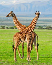 Two Giraffes In Serengeti National Park