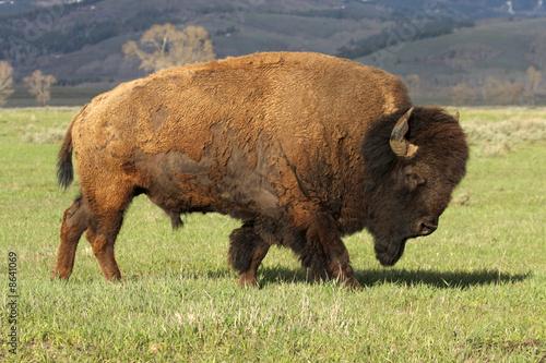 La pose en embrasure Bison A Wild America Bison