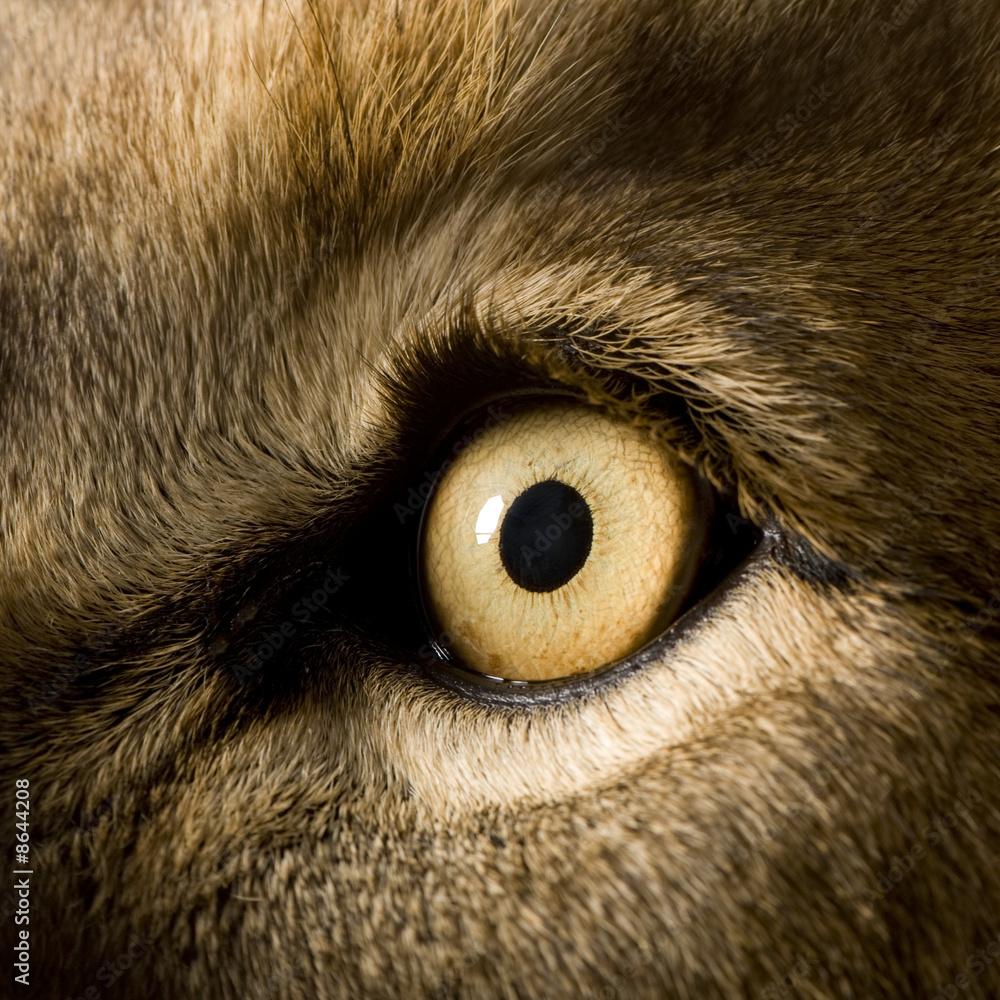 Fototapeta Lion (4 and a half years) - Panthera leo