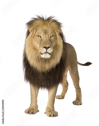 Poster Lion Lion (4 and a half years) - Panthera leo