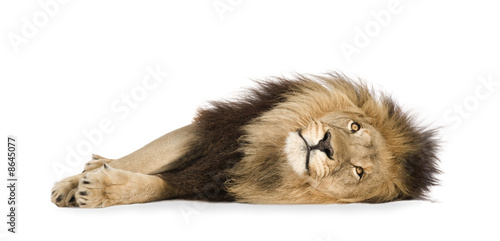 Staande foto Leeuw Lion (4 and a half years) - Panthera leo