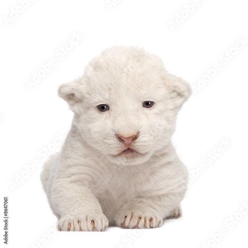 Tuinposter Ijsbeer White Lion Cub (1 week)