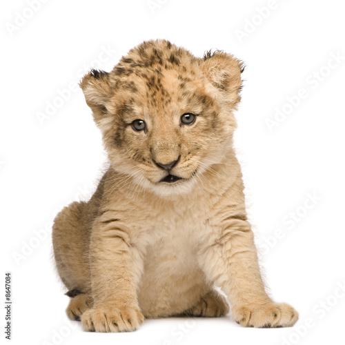 Recess Fitting Lion Lion Cub (6 weeks)