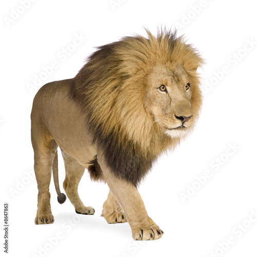 Foto op Plexiglas Leeuw Lion (4 and a half years) - Panthera leo