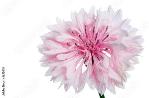 Poster de jardin Dahlia cornflower flower