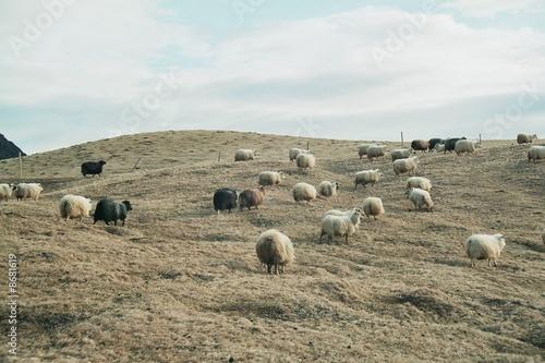 Photo sur Toile Amérique du Sud Moutons