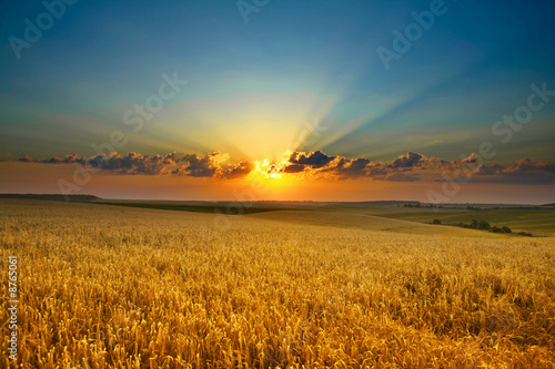 Slika na platnu Golden field