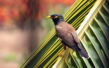 Kona Island Minah Bird On Palm...